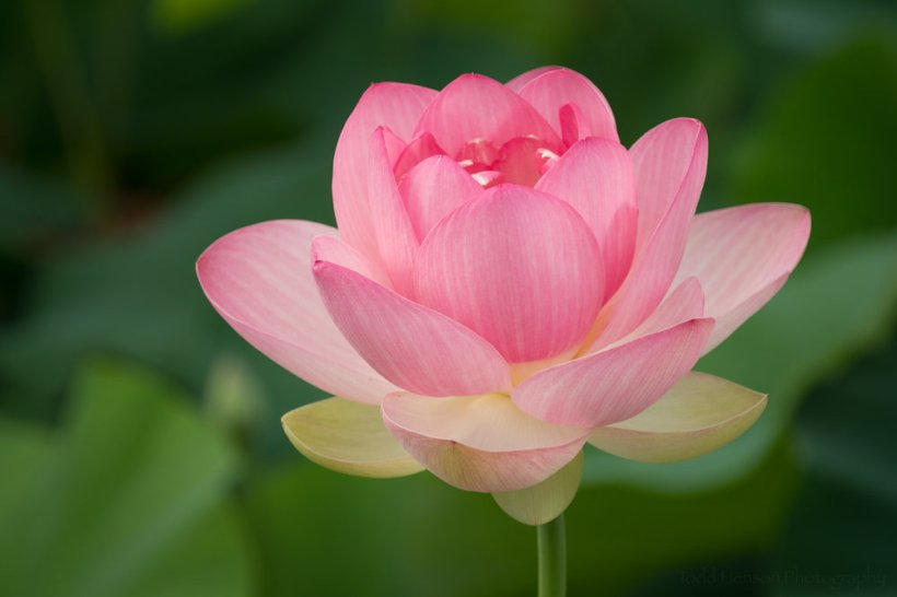 Lotus Blossom Almost Completely Open